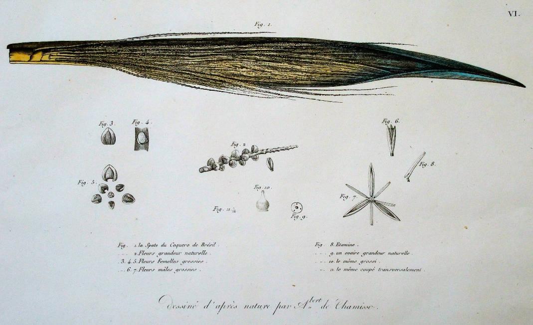 [30] Desenho da natureza de Adelbert de Chamisso, 1815. Adelbert von Chamisso [1781-1838]. Coleção Catarina. Fonte Ylmar Corrêa Neto.