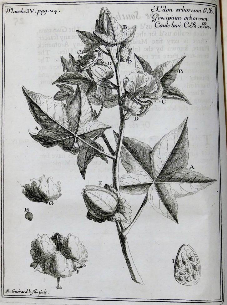 [35] Algodão, 1712. Amedee Francois Frezier [1682-1773]. Coleção Catarina. Fonte Ylmar Corrêa Neto.