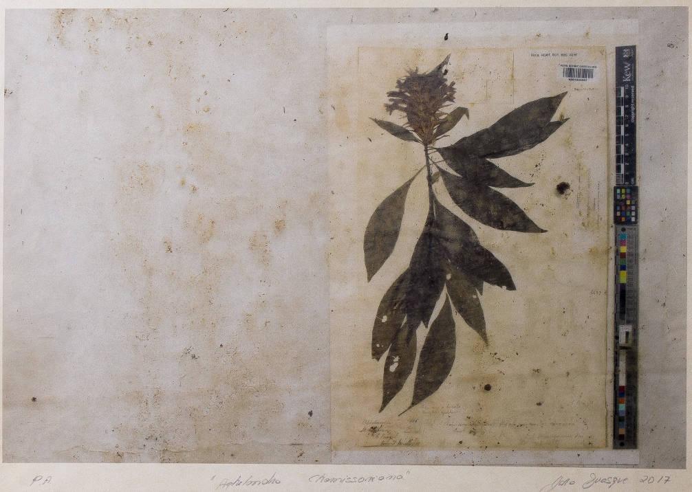 """[36] """"Aphelandra chamissoniana"""" [Bálsamo-amarelo], 2017. Yara Rondon Guasque Araújo [1956]. Coleção da artista. Fonte yara Gasque."""